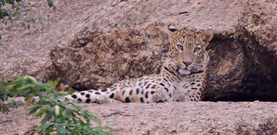 Quite a thrill to see this beautiful leopard at Jawai tented camp