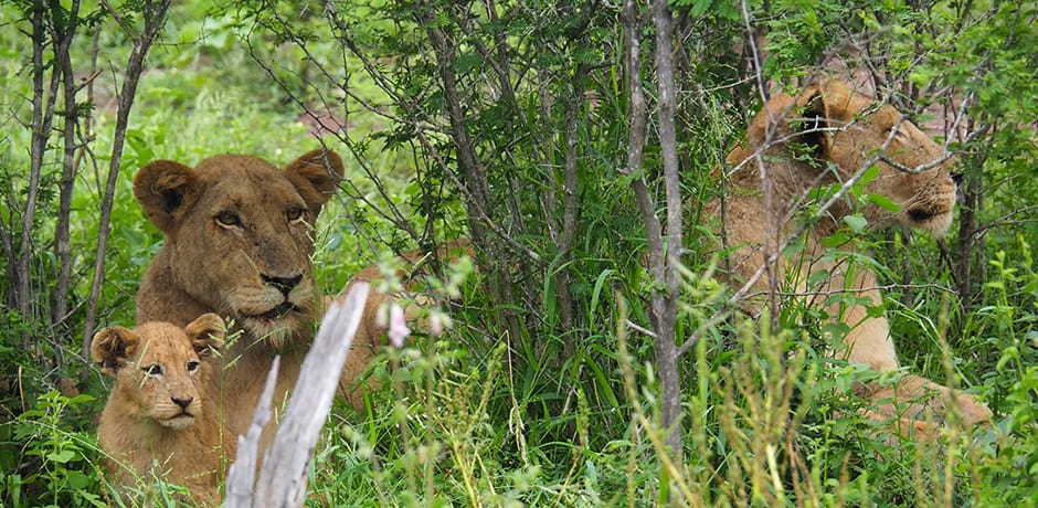Two lionesses and a cub in the Singita Concession at Kruger National Park