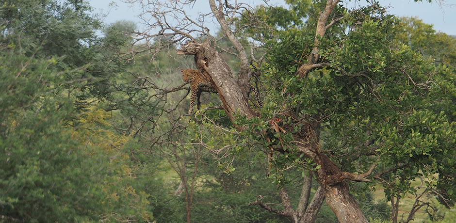 On our final day at Singita, we spotted a Leopard lounging after a meal in Kruger National Park