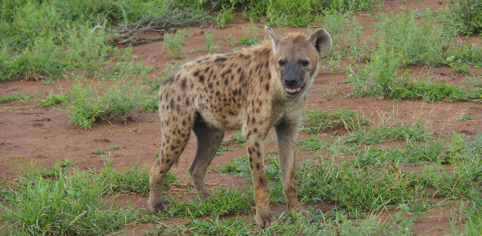 A lone hyena waits for scraps from the leopard's kill