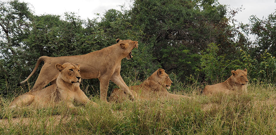Four lionesses in Thornybush