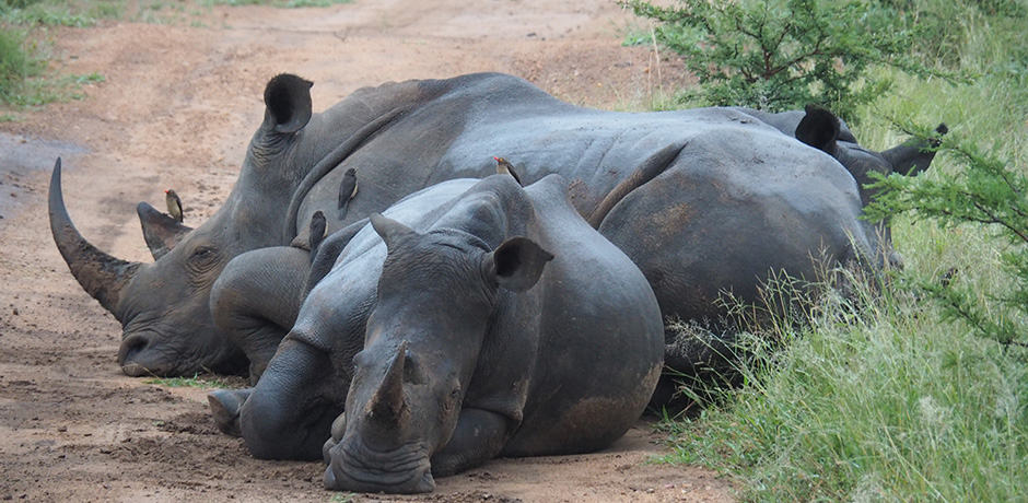 Sleepy rhinos lounge on the road in Thornybush