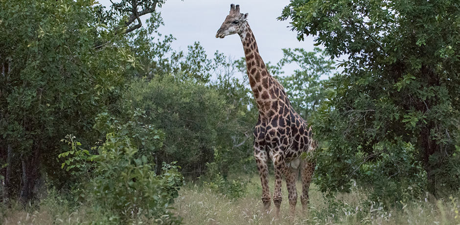 A Giraffe spotted at Kruger National Park