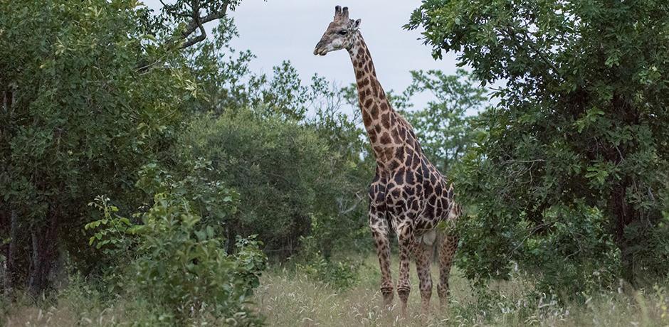 A Giraffe spotted at Kruger National Park