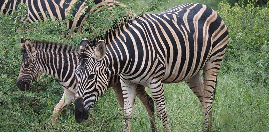 A baby zebra and his mother lounge in Thornybush