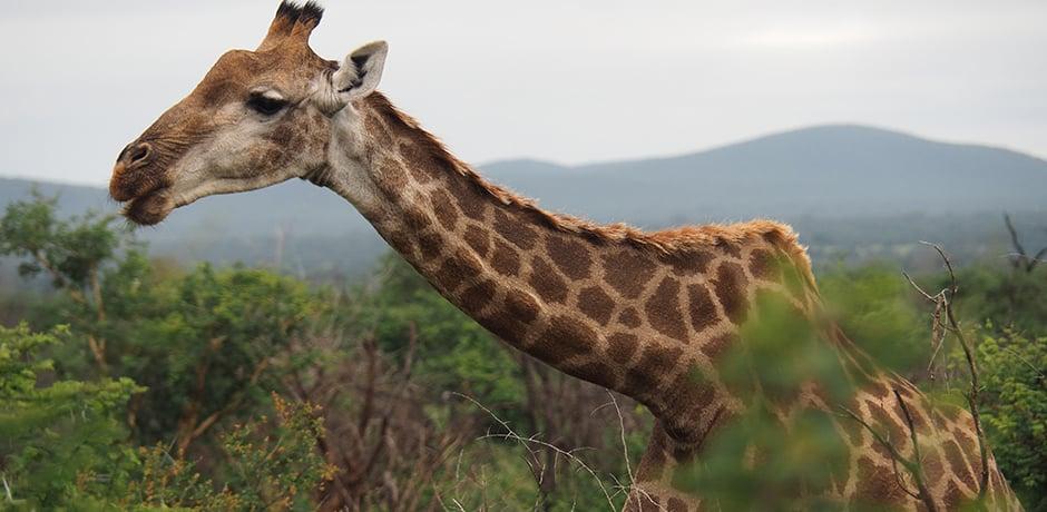 A giraffe chomps away on our drive