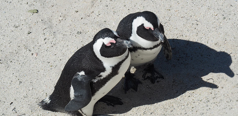 Penguin sightings on Boulder's Beach in Cape Town