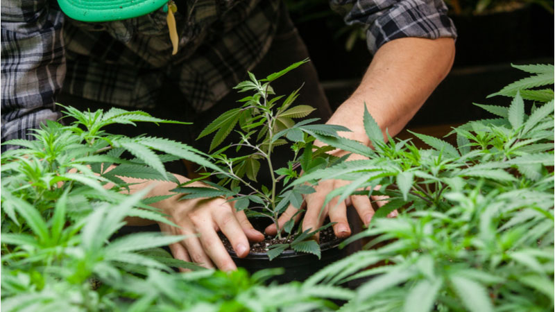 Should You Buy Canopy Growth Corp (CGC) Stock on Friday?