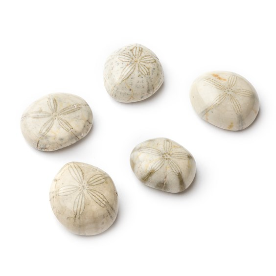 Natural Fossilised Sand Dollar, Approx From 16mm To 25mm