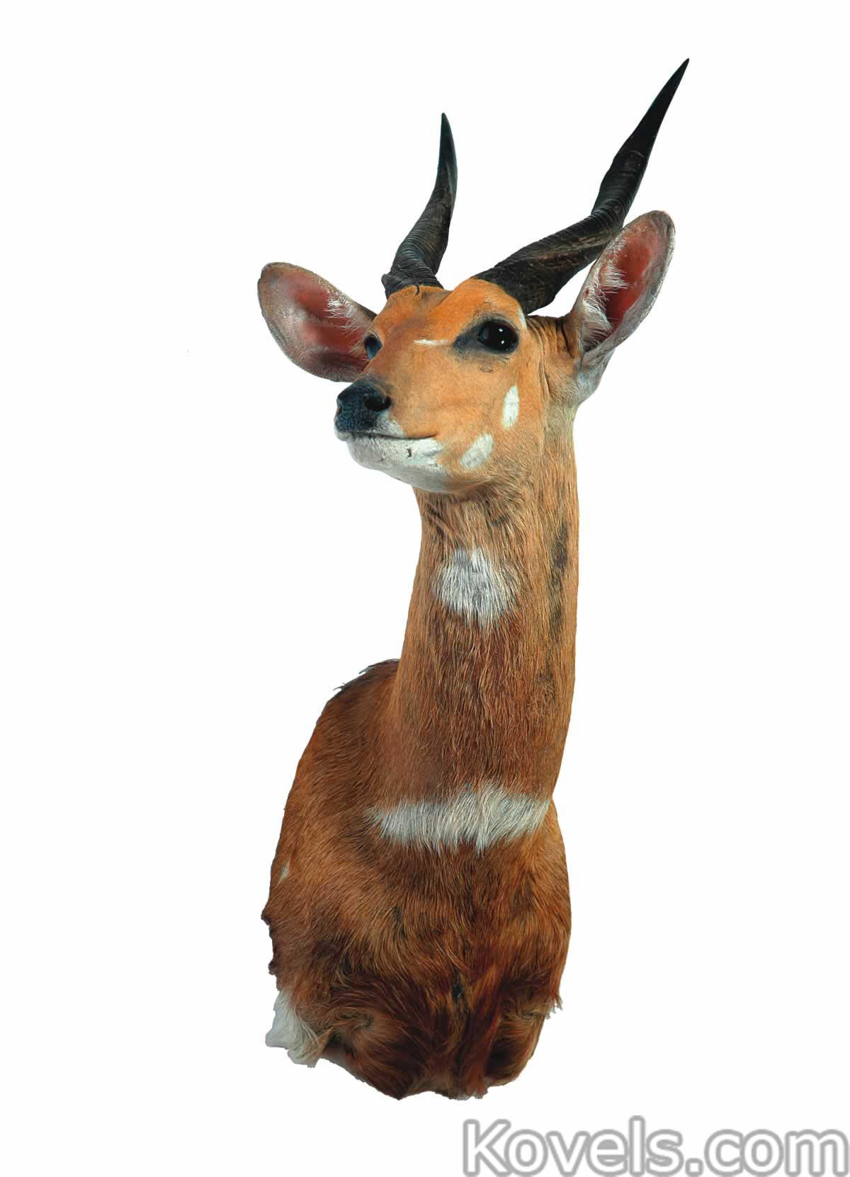 animal-trophy-antelope-bushbuck-shoulder-mount-ga072414-4233.jpg