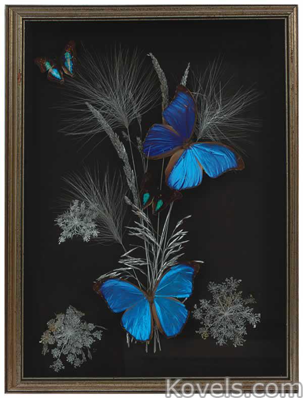 animal-trophy-butterflies-blue-wings-frame-du081514-0443.jpg