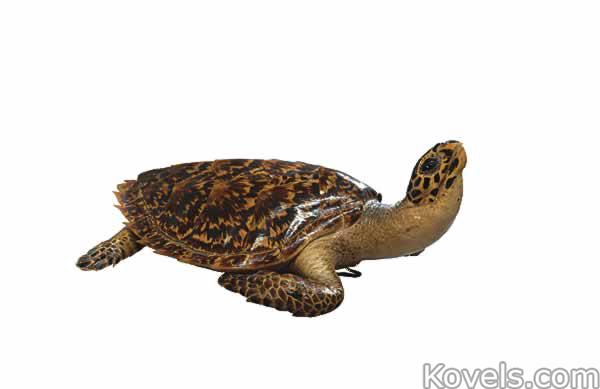 animal-trophy-sea-turtle-no072614-0286.jpg