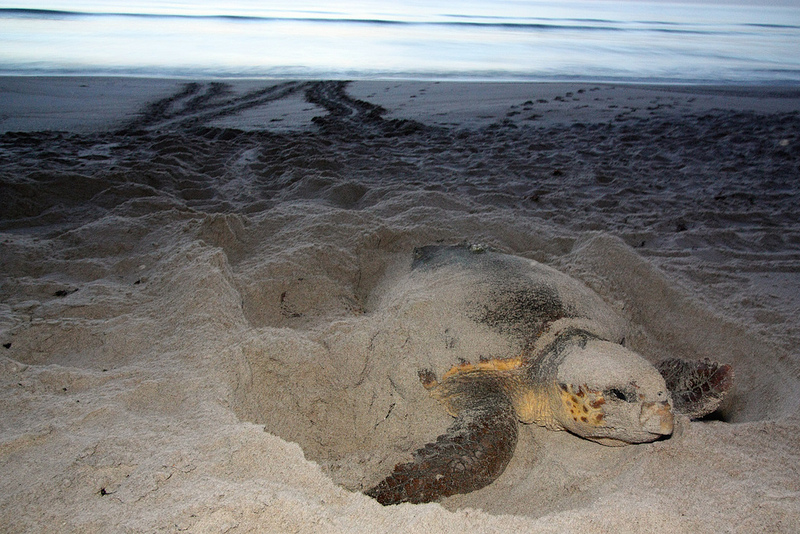 Guided turtle walks
