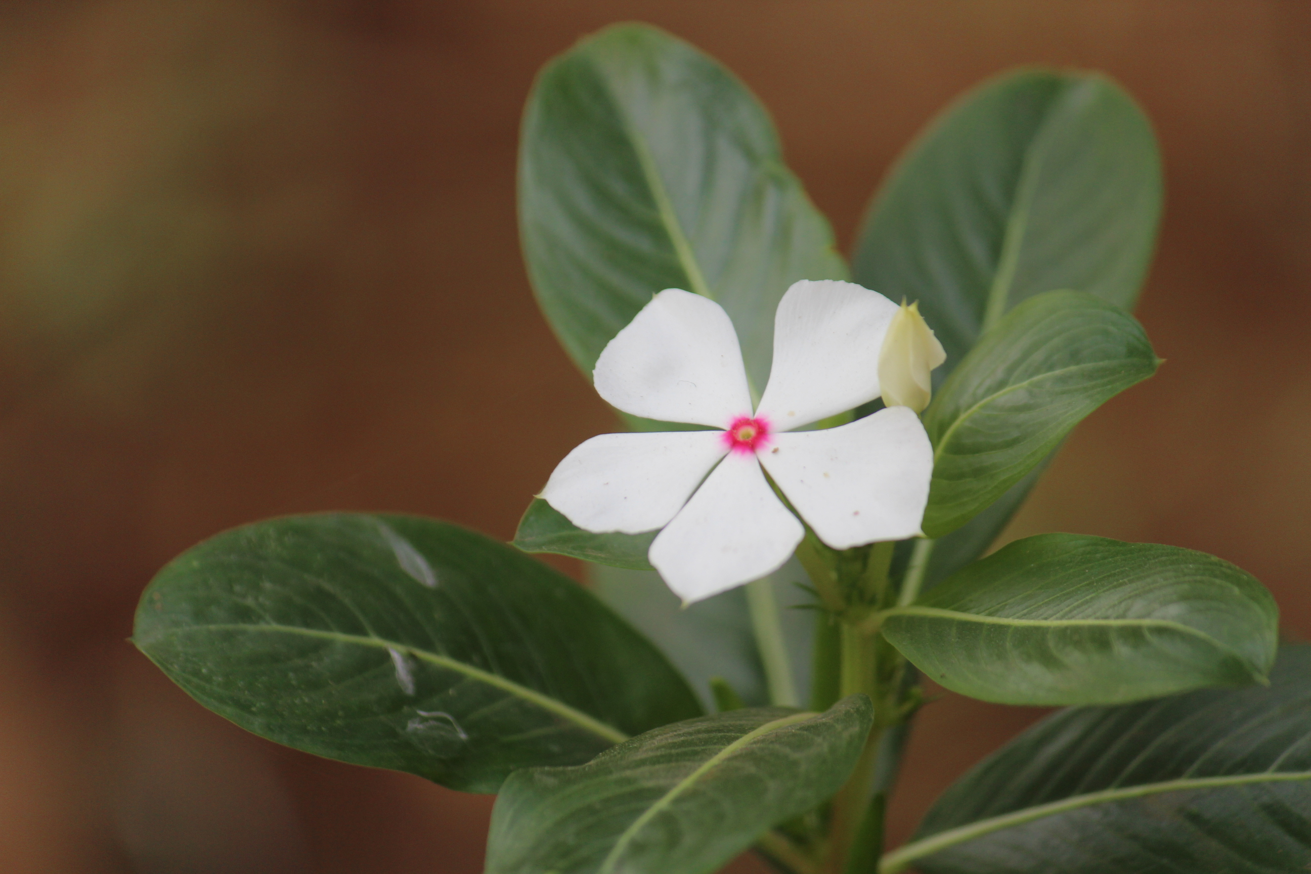 Single white flower public domain pictures download now mightylinksfo