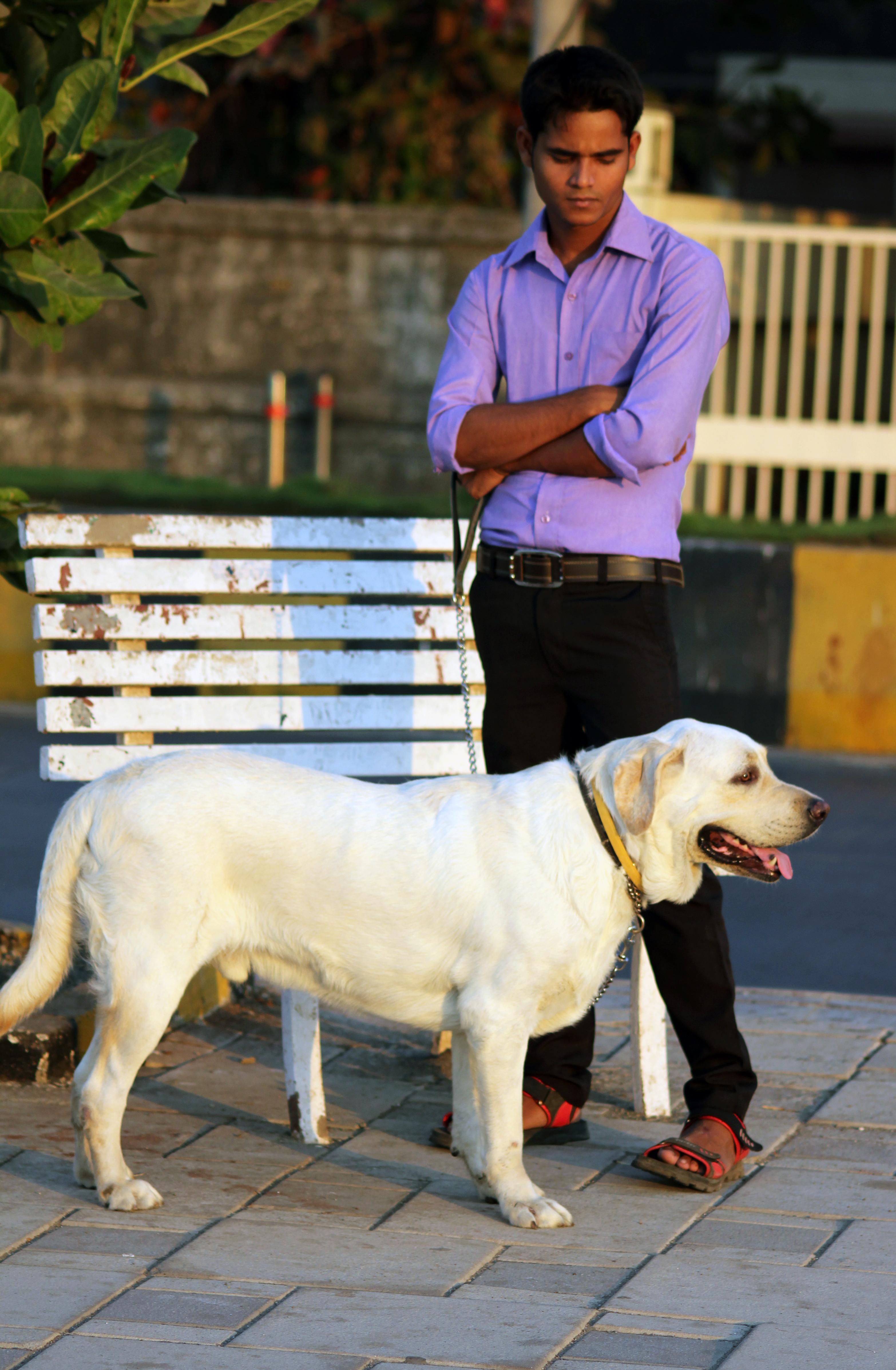 Beautiful Dog Labrador White Public Domain Pictures