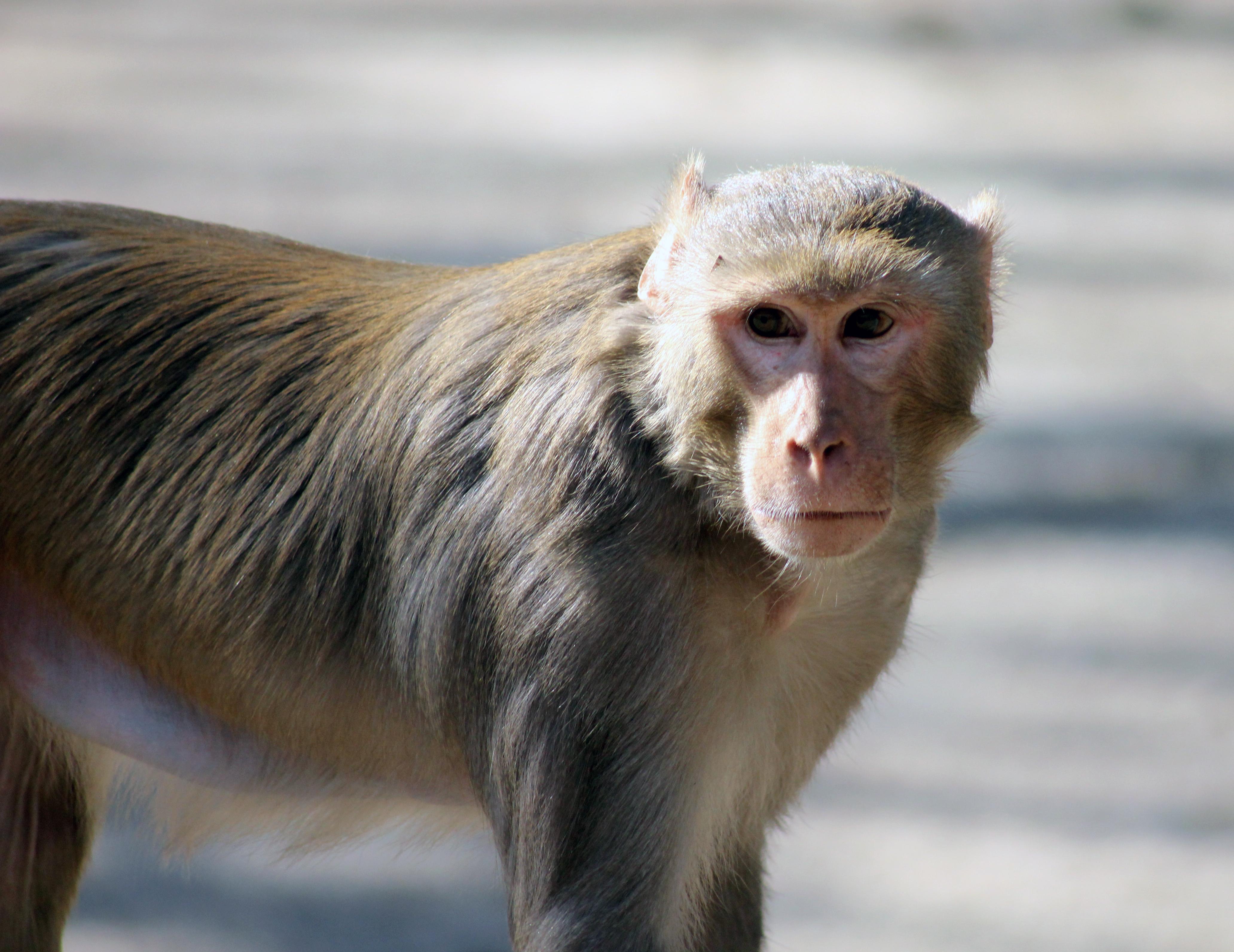 Monkey Face : Public Domain Pictures