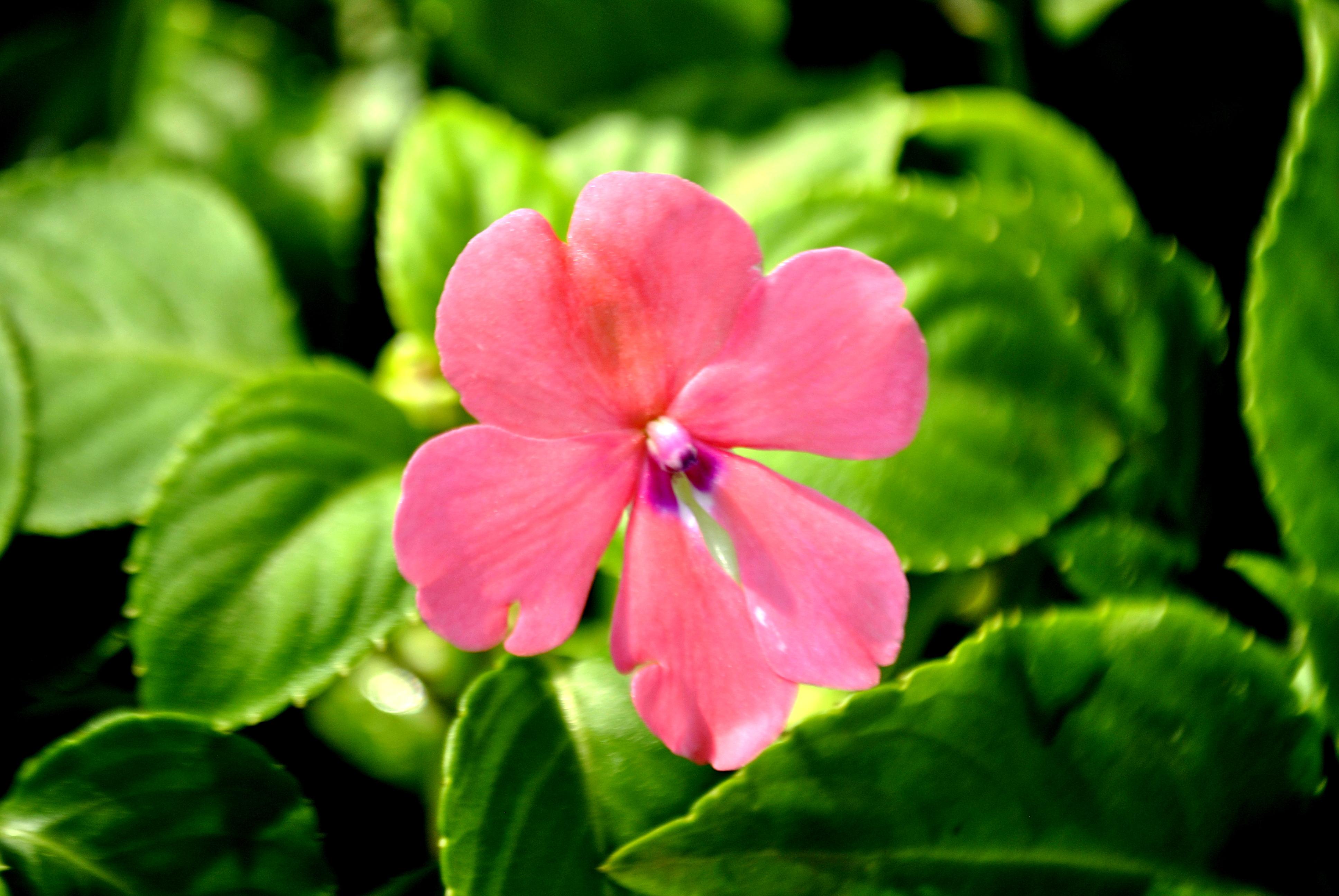 photos light pink flower