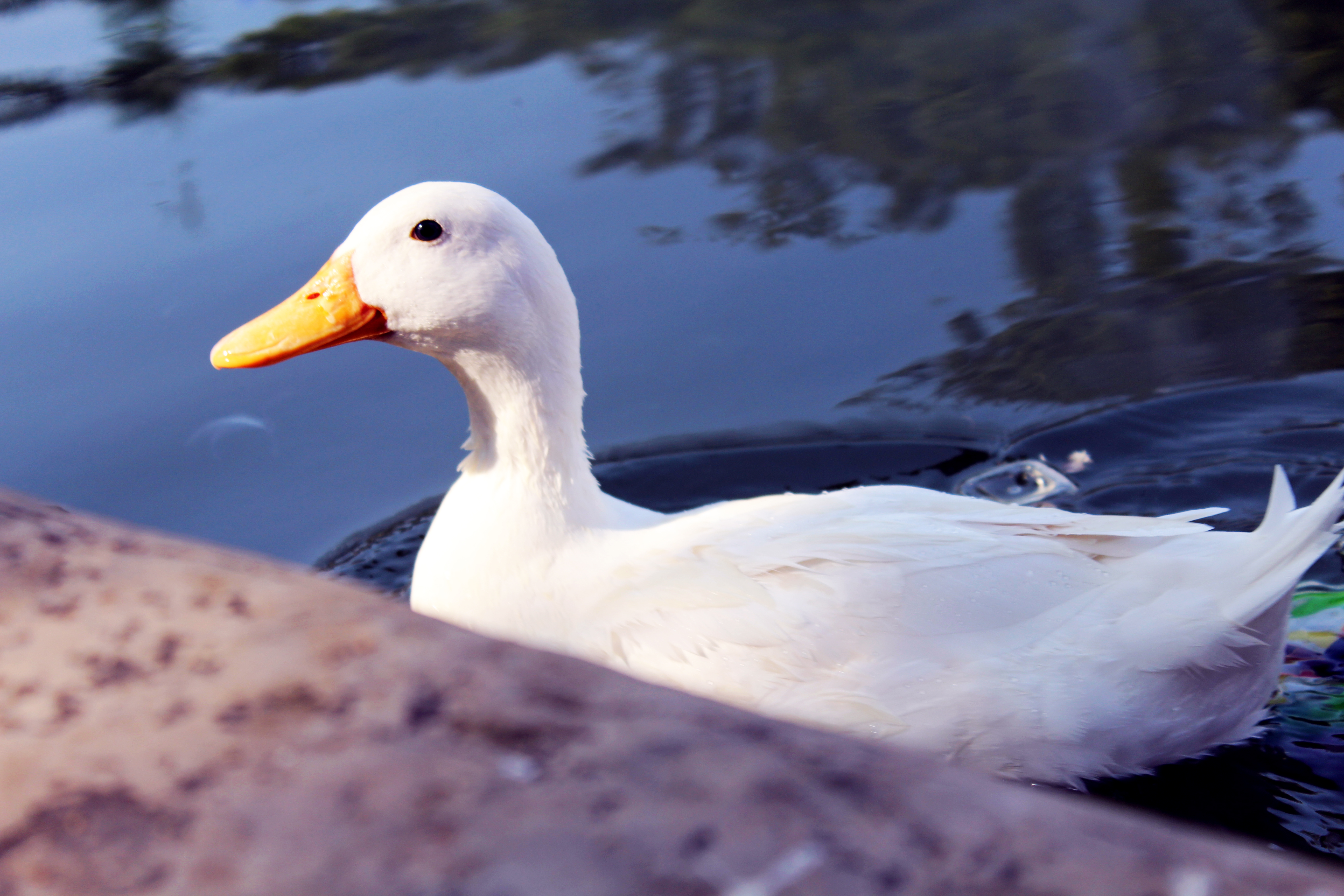 White Duck In Water : Public Domain Pictures
