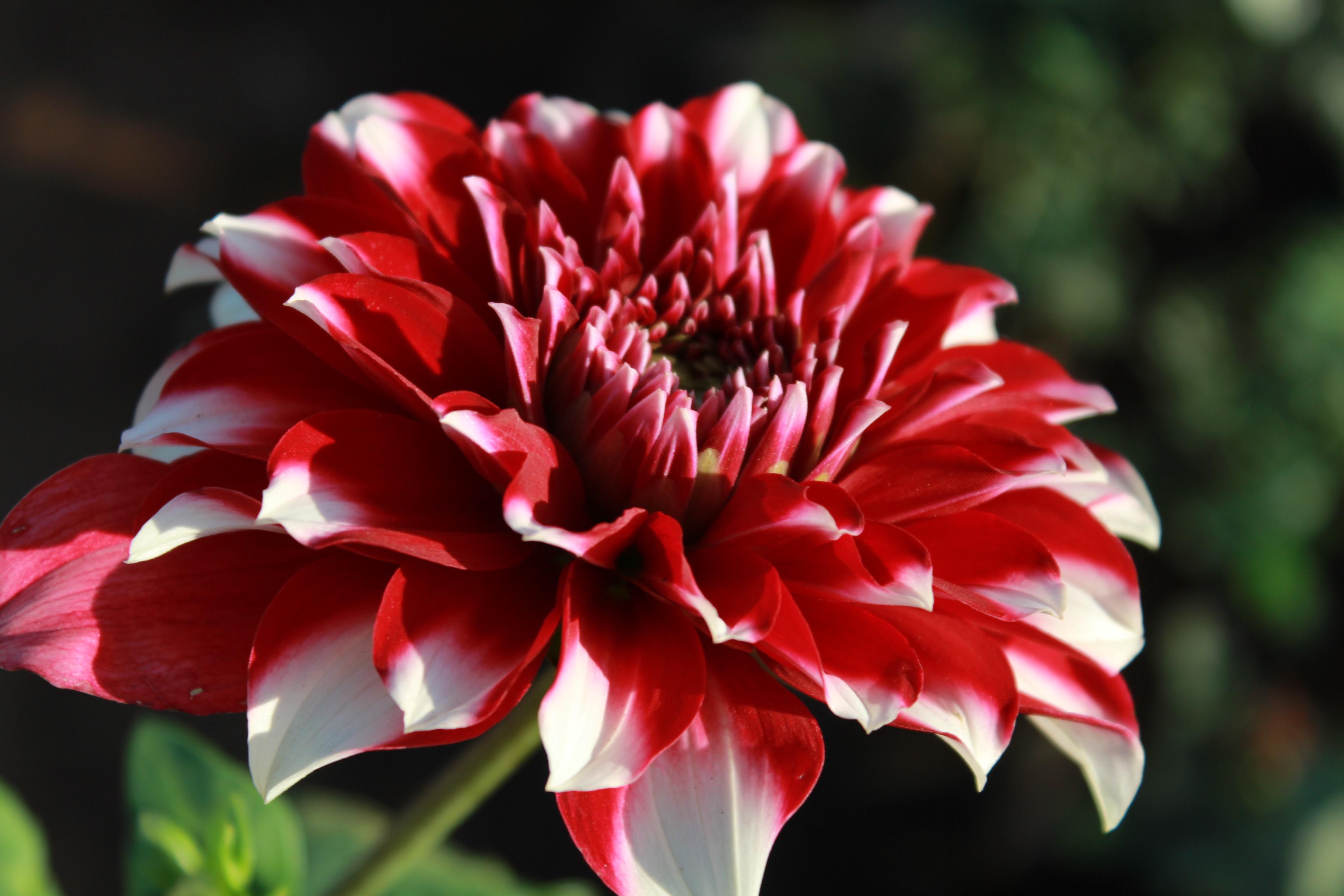 beautiful flower full bloom  public domain pictures, Beautiful flower
