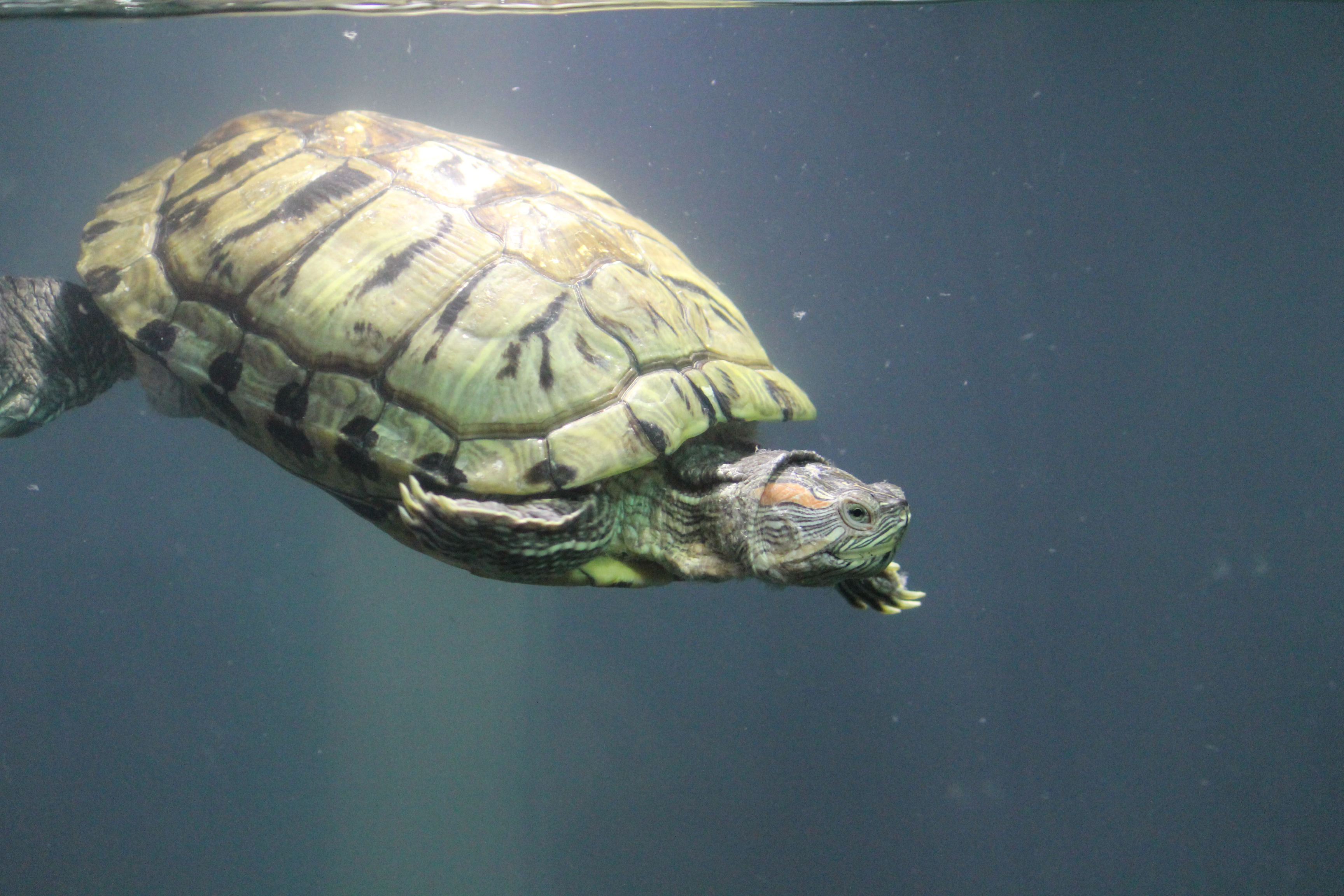 Tortoise Turtle Water Aquarium : Public Domain Pictures