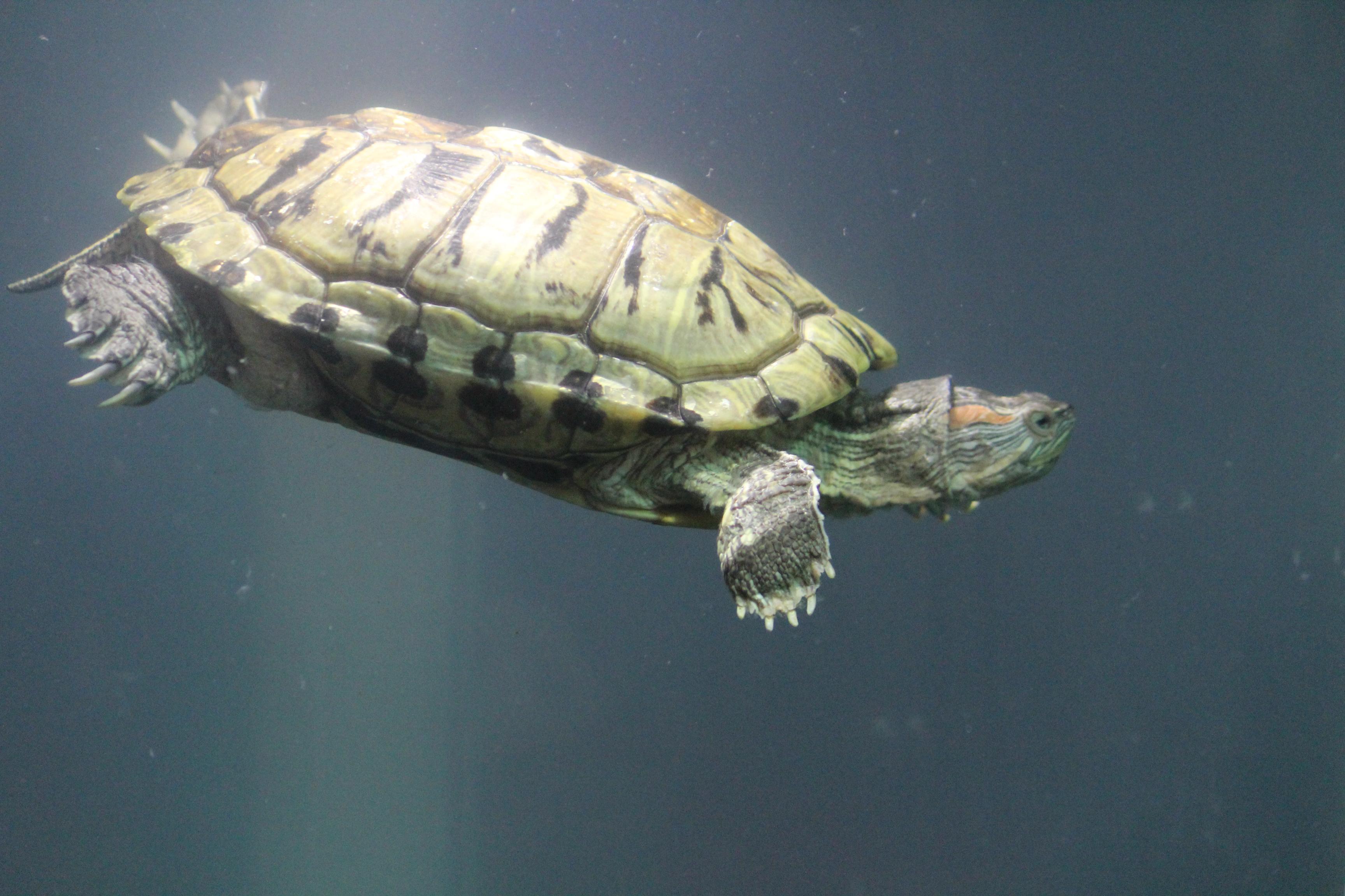 Turtle Tortoise Fish Tank : Public Domain Pictures
