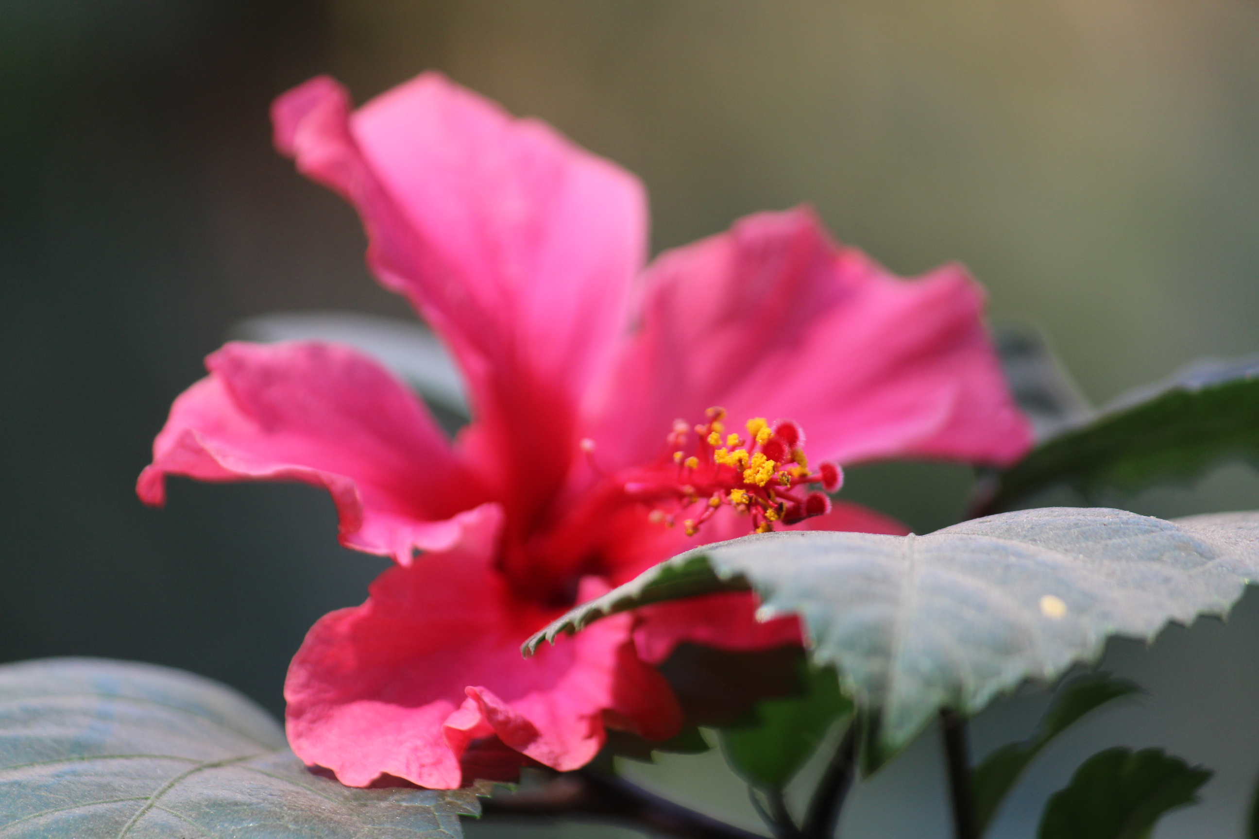 Hibiscus flower plant pink public domain pictures download now izmirmasajfo