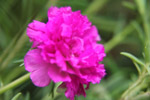 Carnation Flowers Pink - Public Domain Pictures
