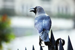 Crow Stting On Fence - Public Domain Pictures