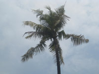 Coconut Tree - Public Domain Pictures