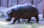 Hippo In Zoo - Public Domain Pictures