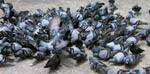 Hundreds Of Pigeons - Public Domain Pictures