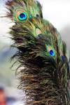 Peacock Feathers - Public Domain Pictures