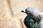 Pigeon Beautiful Face - Public Domain Pictures