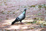 Pigeon On Ground Sitting - Public Domain Pictures