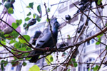 Pigeon On Tree Branch - Public Domain Pictures