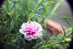Pink White Carnation In Garden - Public Domain Pictures