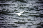1096-sea-gulls - Public Domain Pictures