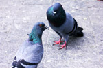 Two Pigeons - Public Domain Pictures