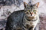 Wild Cat Looking At Camera - Public Domain Pictures