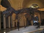 Dinosaur Skeleton Fossil Museum - Public Domain Pictures