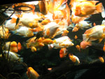 Lots Of Fishes Aquairum - Public Domain Pictures