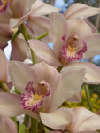 Lovely Cream Pink Flower Orchid - Public Domain Pictures
