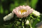 Beautiful Light Flower - Public Domain Pictures