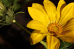Sunflower - Public Domain Pictures