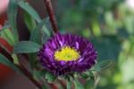 Violet Yellow Flower - Public Domain Pictures