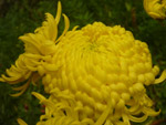 Yellow Big Flower - Public Domain Pictures