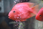 Bright Pink Fish Bubbles - Public Domain Pictures