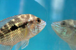 1315-fish-reflection-water-tank - Public Domain Pictures