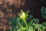 Flower Bud - Public Domain Pictures