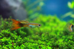 Tiny Fish Swimming - Public Domain Pictures